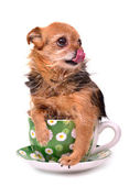 Little dog inside a cup, licking it's nose — Stock Photo