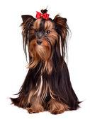 Adorable Yorkshire Terrier girl — Stock Photo