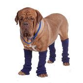 Boncuk ve bacak ısıtıcıları ile köpek — Stok fotoğraf
