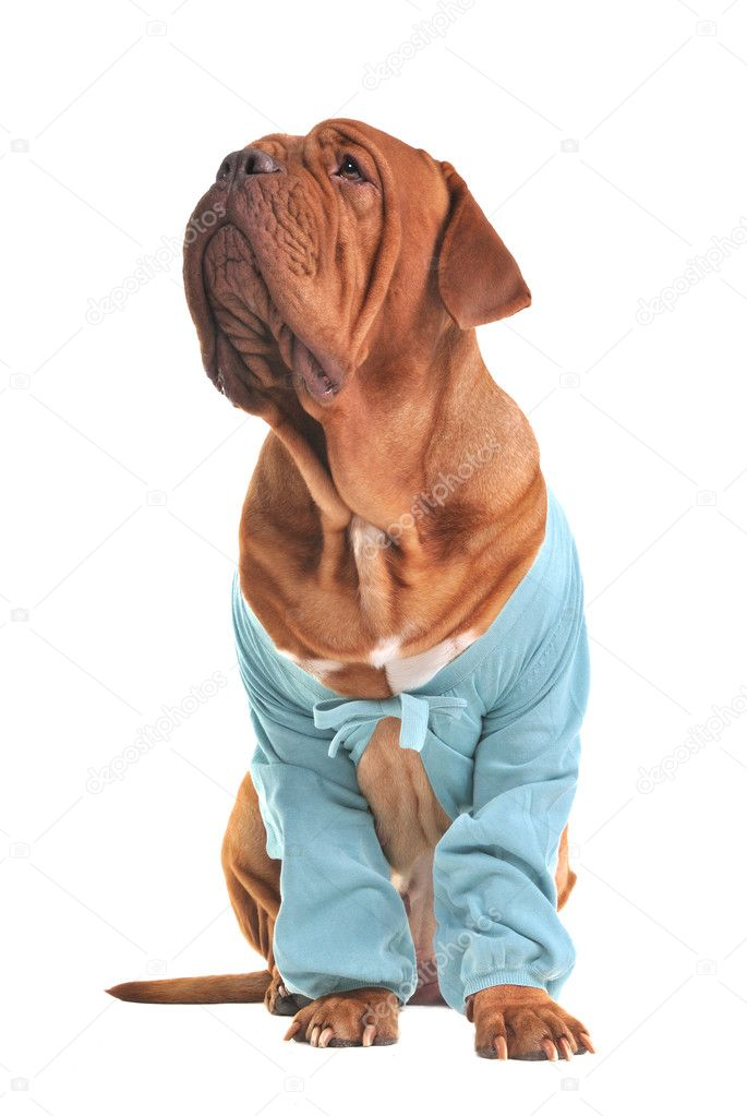 Charming big dog wearing blue jacket isolated on white background — Stock Photo #9307998