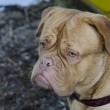 French Mastiff portrait, close up — Stock Photo #9603702