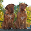 Two Dogues De Bordeaux at the street — Stock Photo