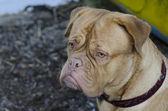 French Mastiff portrait, close up — Stock Photo