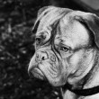 French Mastiff black-and-white portrait — Stock Photo