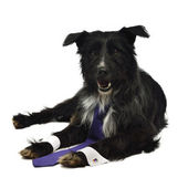 Cão elegante com gravata — Foto Stock