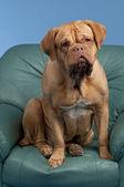 Dogue De Bordeaux sitting on arm chair — Stock Photo