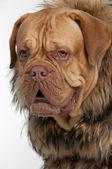 Mastiff hund bär tvättbjörn päls jacka — Stockfoto