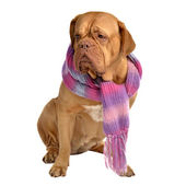 Big dog with scarf — Stock Photo