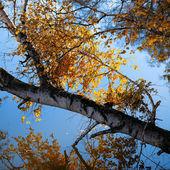 Bouleau automne et la direction générale sur le lac — Photo