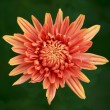 Orange chrysanthemum flower — Stock Photo