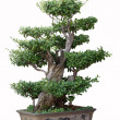 Bonsai tree of elm — Stock Photo