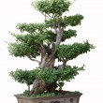 Bonsai tree of elm — Stock Photo