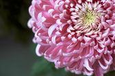 Růžový chryzantémách — Stock fotografie