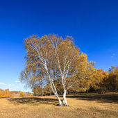 Birch trees in autumn — Stock Photo