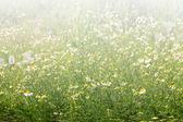 Pissenlit fleur — Photo