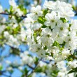 Flowers on the cherry tree — Stock Photo