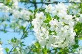 Flowers on the cherry tree — Stock Photo
