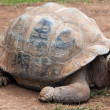 Giant turtle - Stock Photo