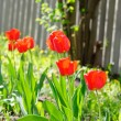 Tulips — Stock Photo #8574511