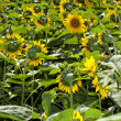Stock Photo: Sunflower Filed