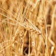 Wheat — Stock Photo #9948729
