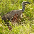 Vulture with prey - Stock Photo