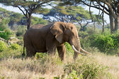 African elephant in reserve — Stock Photo