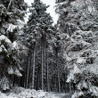 Fir trees covered with snow - Stock Photo