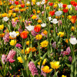 Royalty-Free Stock Photo: Dutch bulb field with colorful tulips and hyacinths