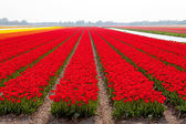 Dutch bulb field with red tulips — Stock Photo