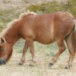 Stock Photo: Brown Shetland pony