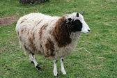 Four horn sheep — Stock Photo