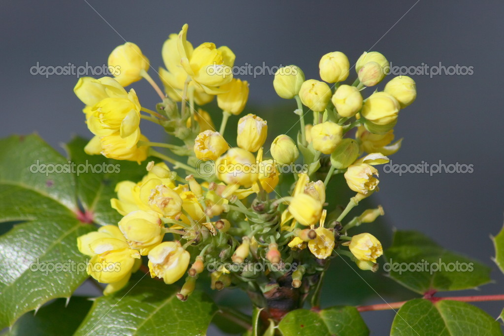 Close-up of a yellow-flowering Mahonia    Stock Photo #9226042