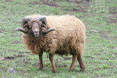 Ram Skudde (Ovis ammon f. Aries) — Stock Photo