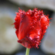 Red-flowering tulip — Stock Photo