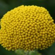 Stock Photo: Yellow-flowering Fernleaf Yarrow (Achillefilipendulina) Nahaufnahme einer gelb bl�henden Goldgarbe,(Achillefilipendulin)
