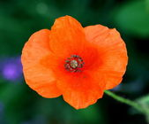 Poppy Papaver rhoeas — Stock Photo