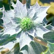 "Beach thistle ""Eryngium maritimum "" — Stock Photo"