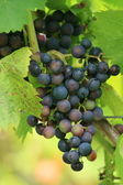Red grapes — Stock Photo
