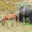 Stock Photo: Two Shetland ponies