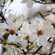 Magnolia — Stock Photo #9577726