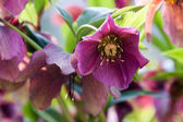 Helleborus niger — Stock Photo