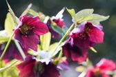 Helleborus niger — Stock Photo