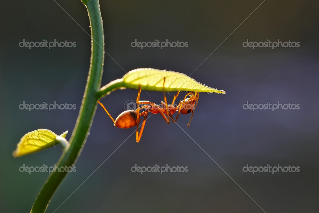 Ant - Formica rufa — Stock Photo #10318383
