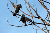 Starlings — Stockfoto
