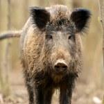 Wild Pig — Stock Photo #10444246