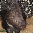 Porcupine — Stock Photo