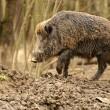 Wild Pig — Stock Photo #10444785