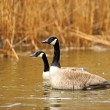 Pair of Canada geese in grasses aglow with evening sunlight — ストック写真