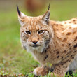 Young Lynx in spring — Stock Photo #10445312